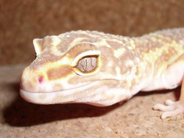 Albino oko
