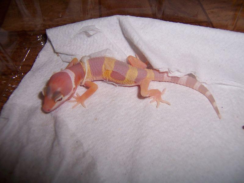 Albino svlek